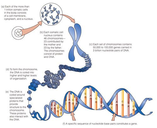 This chromosome model is very helpful in explaining DNA. | Rare ...