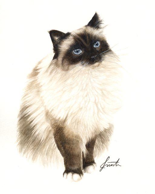 Sacred Birmans Watercolor Cat Cat Art Cat Sketch