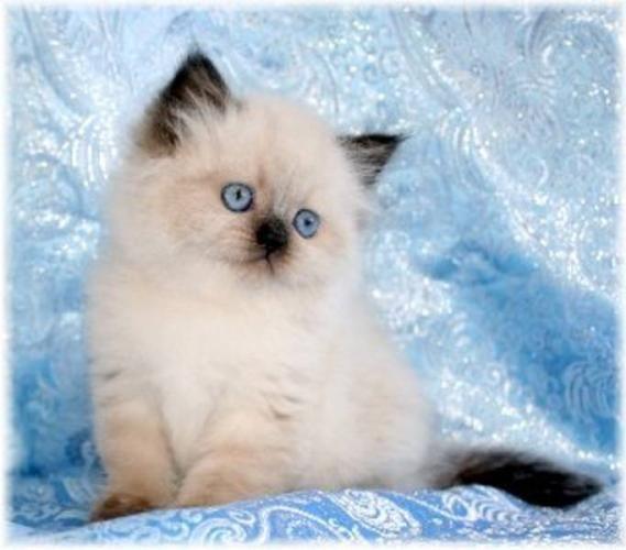 I Love Persian Kittens Cute Cats Himalayan Kitten Kittens
