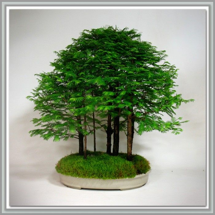 Bonsai Trees For Sale Japanese Bonsai Tools Soil Pots Redwood Bonsai Bonsai Forest Bonsai Trees For Sale