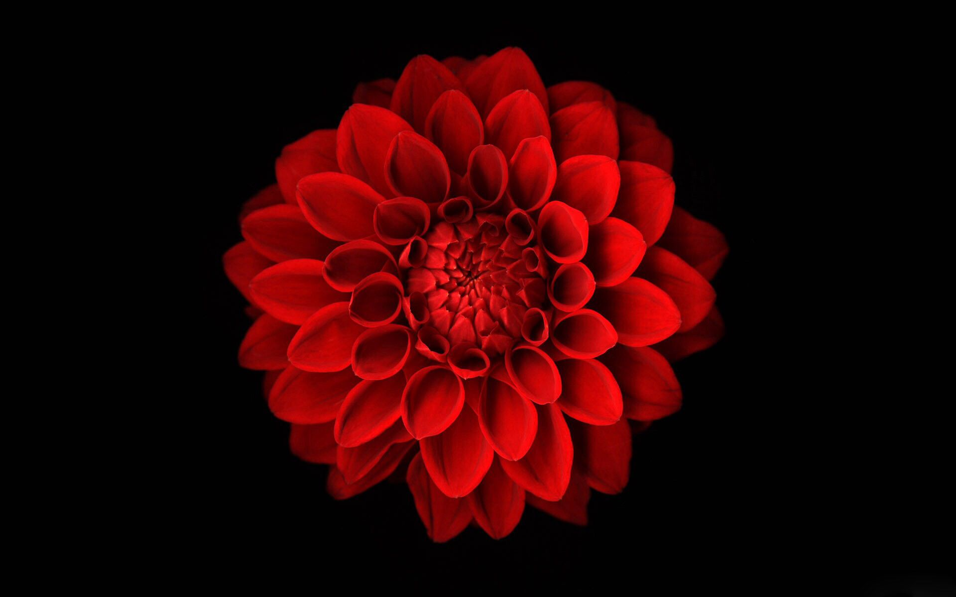 Red Flower On A Black Background