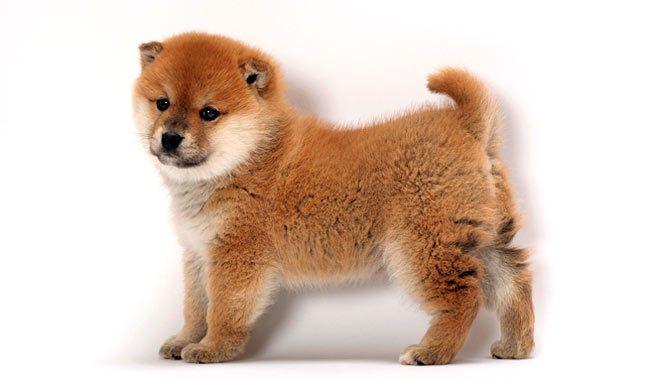 Shiba Inu puppy its sooo cute and fluffy I'm gonna die