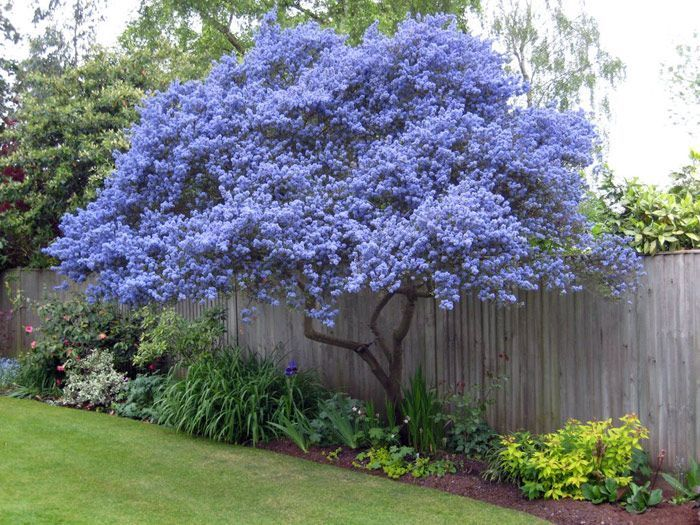 Ceanothus spring flowering evergreen grown as a tree for Garden deciduous trees