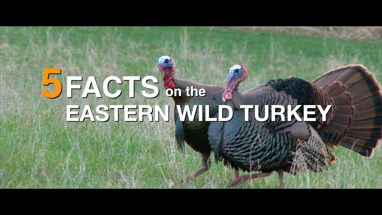 5 facts eastern wild turkey youtube wild turkey