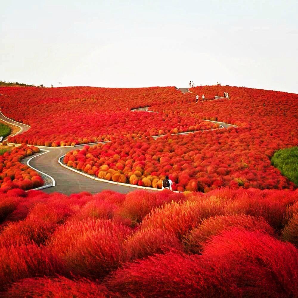 Amazing Place || Hitachi Seaside Park, Japan