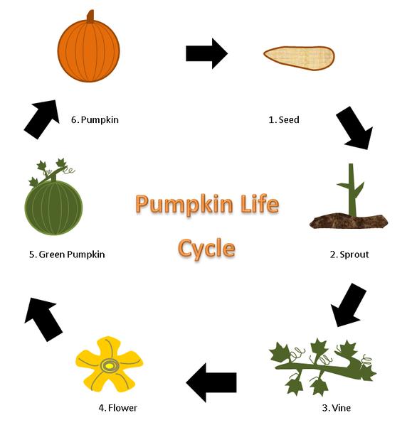 Process - Life Cycle of a Pumpkin | Re-Generation | Pinterest