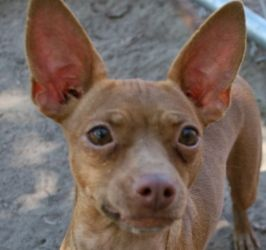 Adopt Thelma On Chihuahua Dogs Chihuahua Dogs