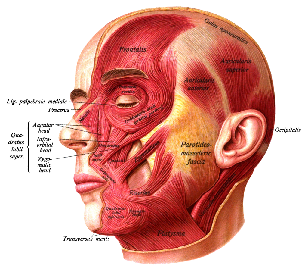 Muscles Of The Face The Superficial Layer Of The Facial Muscles And
