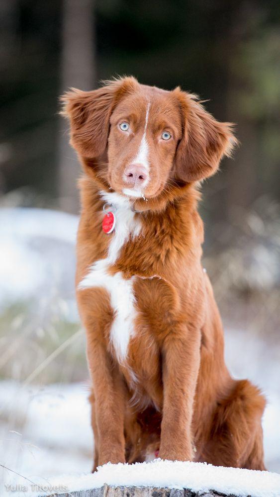 Nova Scotia Duck Tolling Retriever Archives Four Little Paws Dog Breeds Medium Large Dog Breeds Nova Scotia Dog