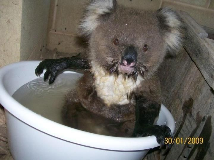 Wet Koala Bear So Cute Koala Bear Koala Koalas