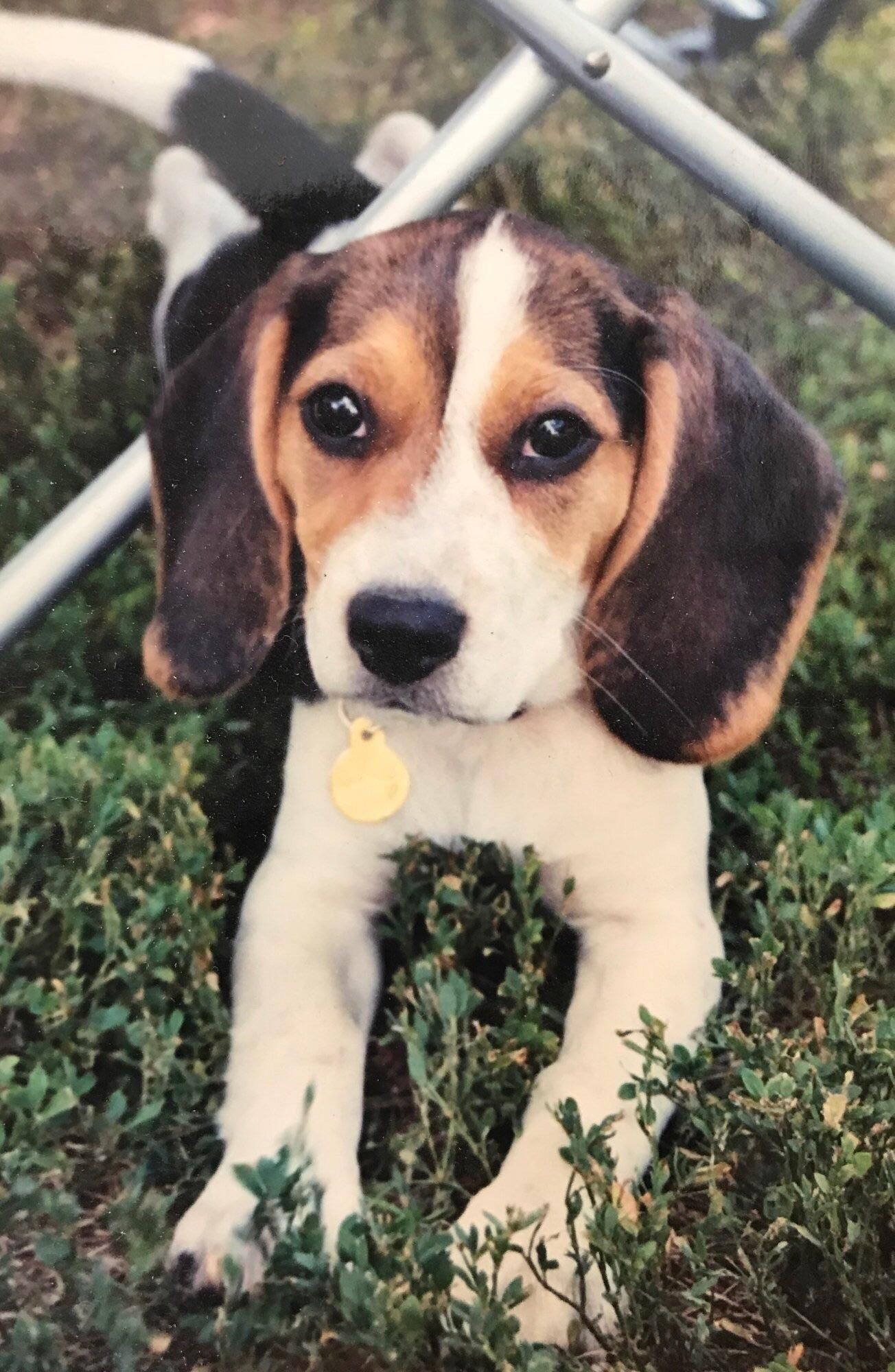 Pin By Generasi 90 On Puppies Best Photo Beagle Puppies Kittens