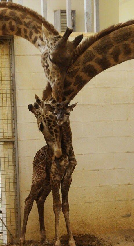 Awwwww love giraffes