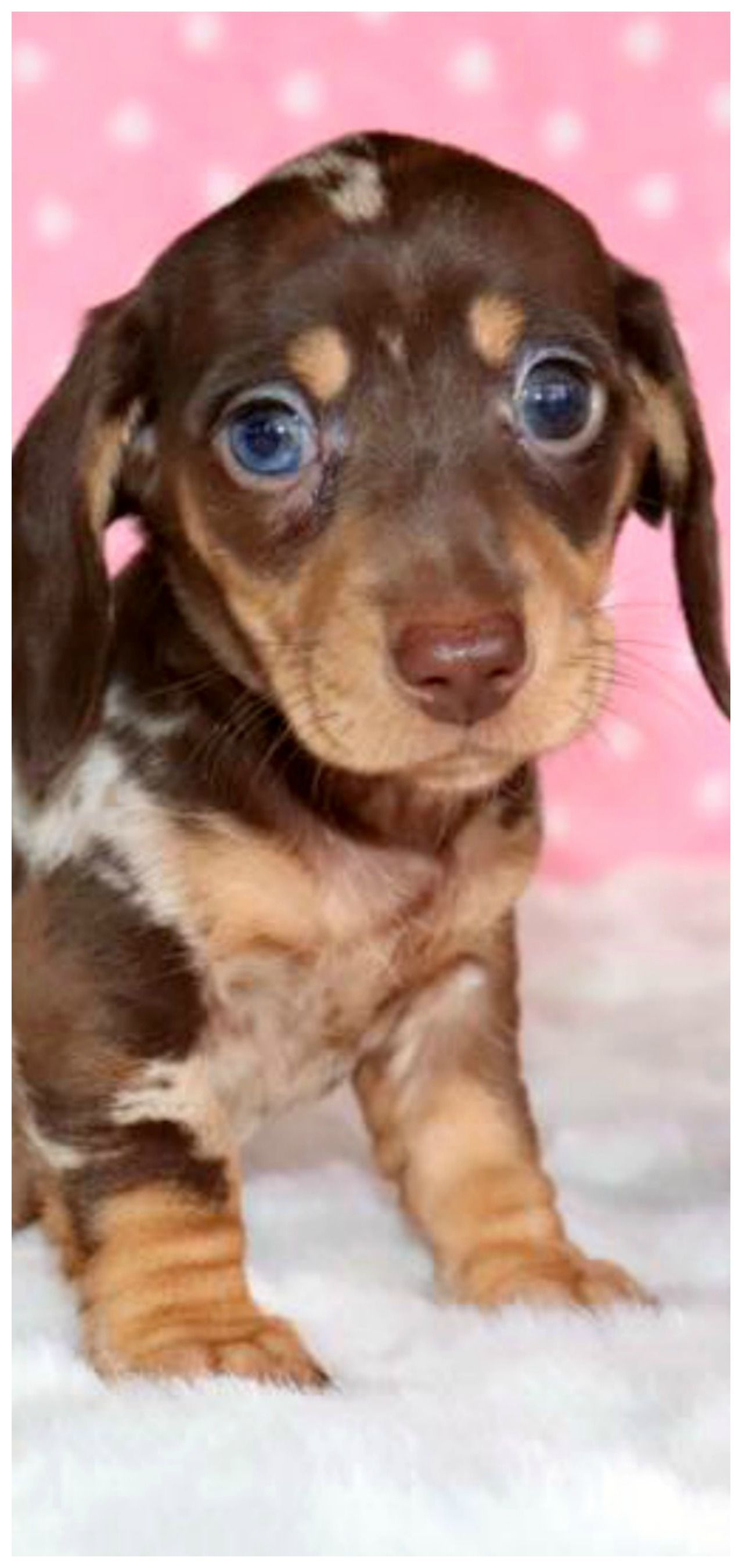 Dog World Image By Tam S Boards Dachshund Puppy Miniature
