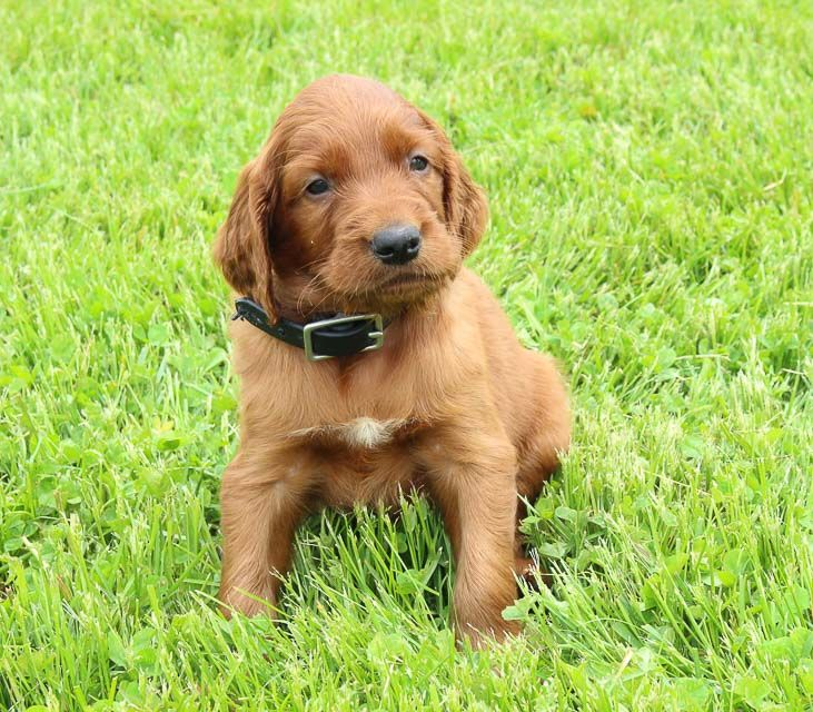 Ranger Puppies for sale, Setter puppies, Puppies