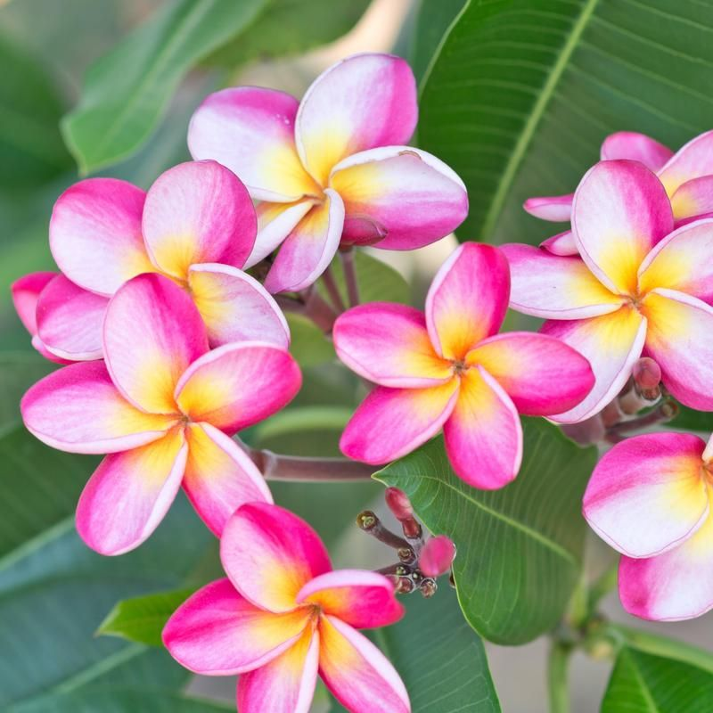 Fragrant Pink Plumeria Potted Plants For Sale Pink Rainbow Easy To Grow Bulbs Plumeria Flowers Flower Pot Design Plumeria Tree