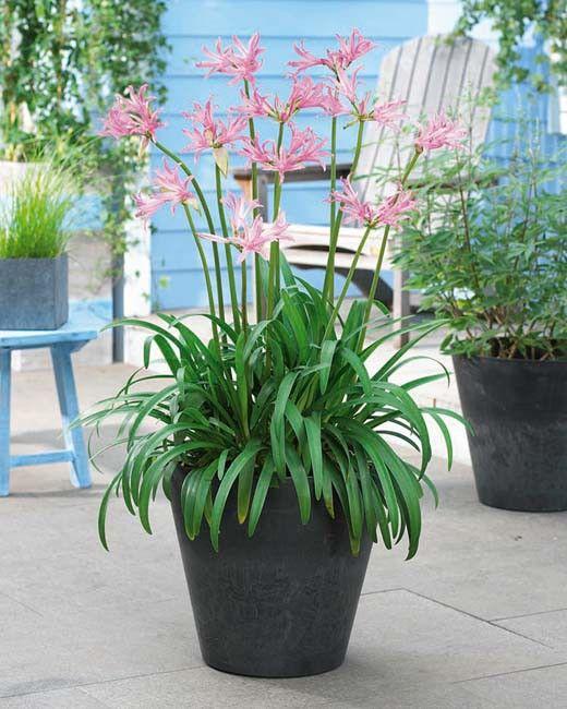 Rosa Schmucklilie Schmucklilie Pflanzen Lilien