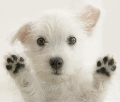WEST HIGHLAND WHITE TERRIER -- Westie puppy