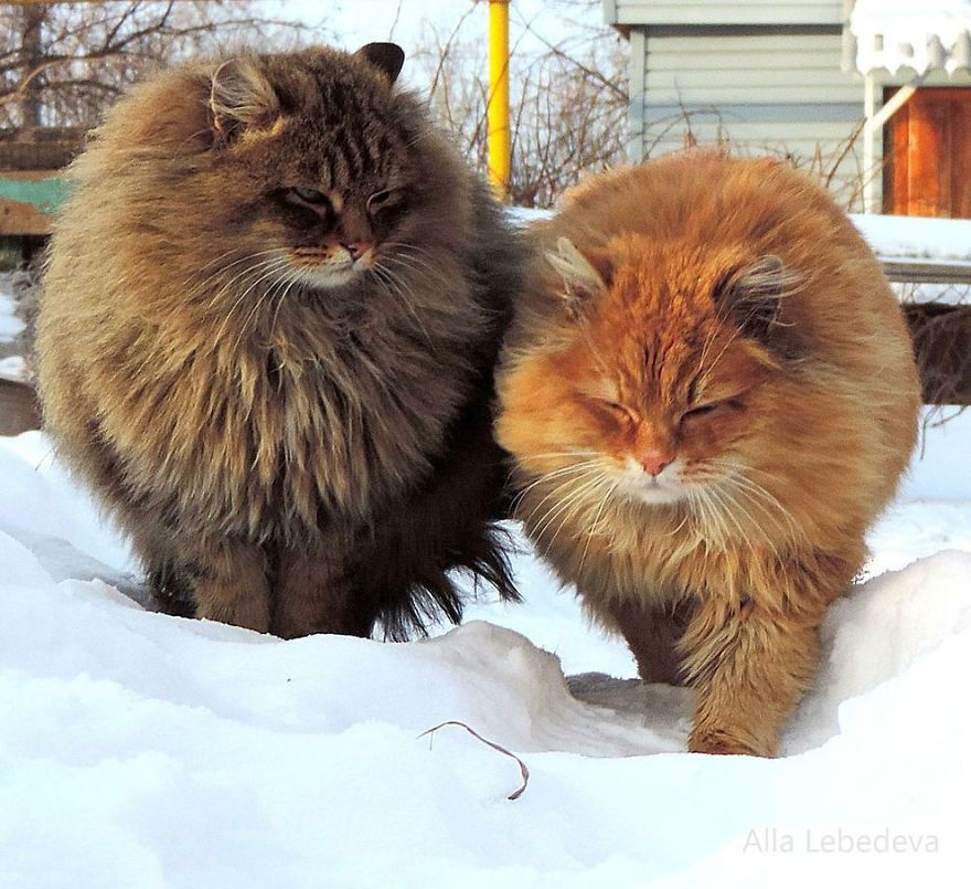 Siberian Farm Cats Have Absolutely Taken Over This Farmer S Land And They Re Absolutely Majestic Siberian Cat Fluffy Cat Breeds Kittens