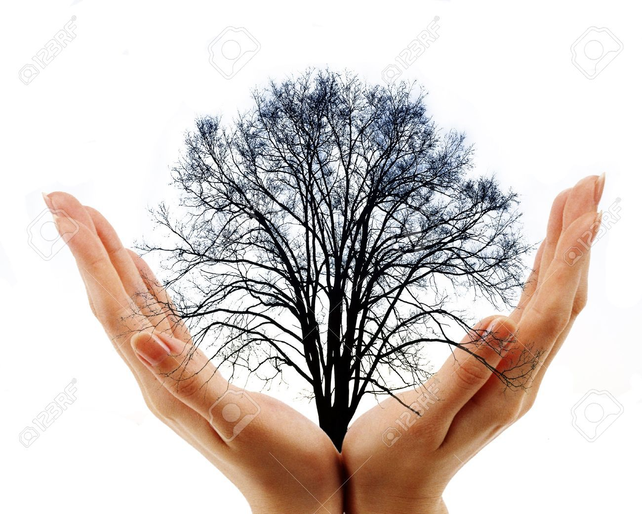 two hands holding bare tree on white background stock photo