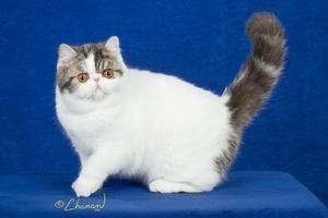 Pin On Exotic Shorthair Kittens