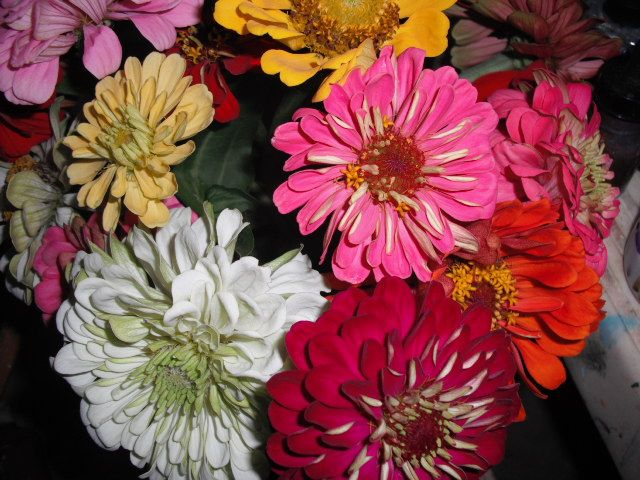 more zinnias from the farmers market