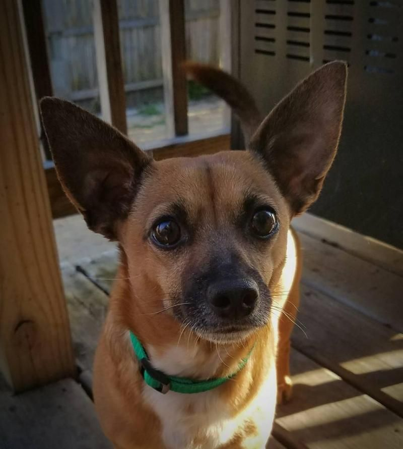 Meet Gizzy, an adoptable Chihuahua looking for a forever