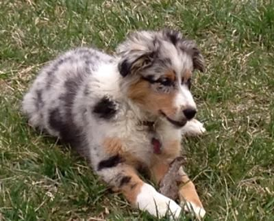 Blue Merle Australian Shepherd Miniature Dogs Breeds And Everything About Our Best Friends