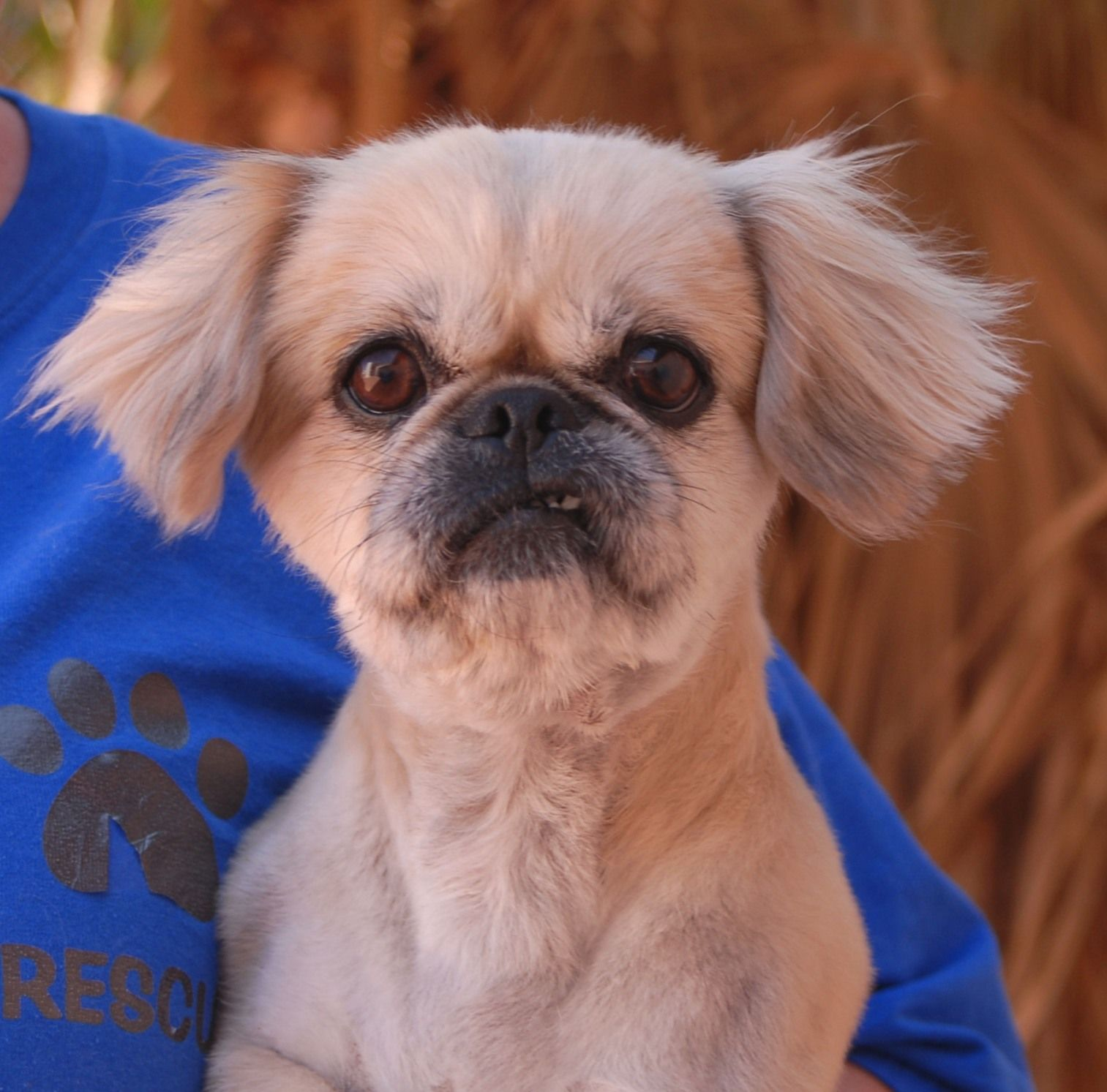 Sherry Is A Good Natured Pekingese Currently Shaved Down Debuting For Adoption Today At Nevada Spca Www Nevadaspca Dog Adoption Pet Adoption Pekingese Dogs
