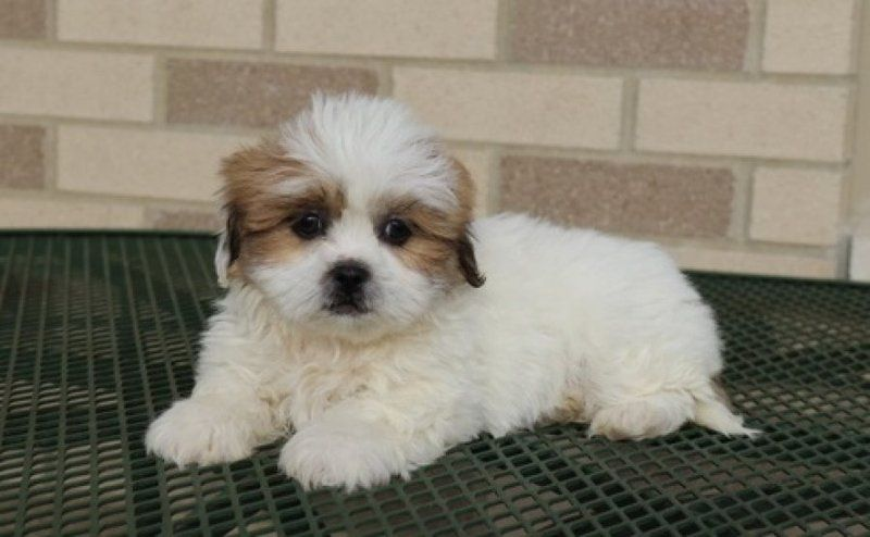 Two Cute Lhasa Apso Puppies Available For Sale Adoption From South