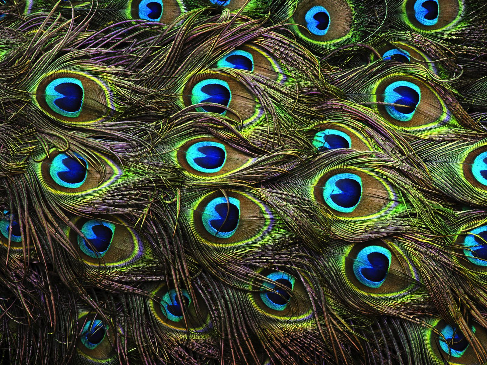 Peacock Feathers Background HD Wallpapers - Genovic.com | Things ...
