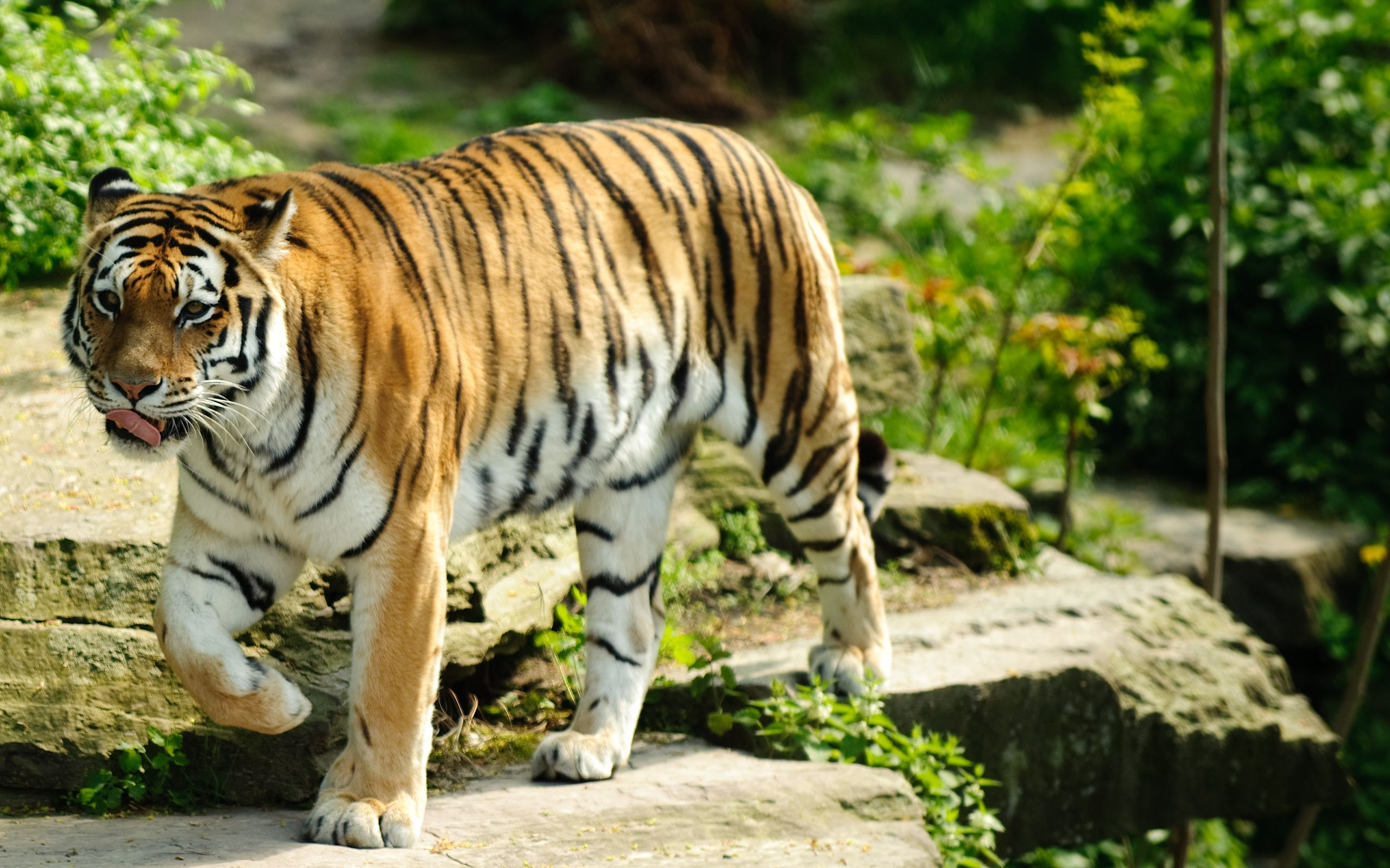 Best Tiger High Definition Wallpaper Tiger Wallpaper Pet Tiger Animal Wallpaper