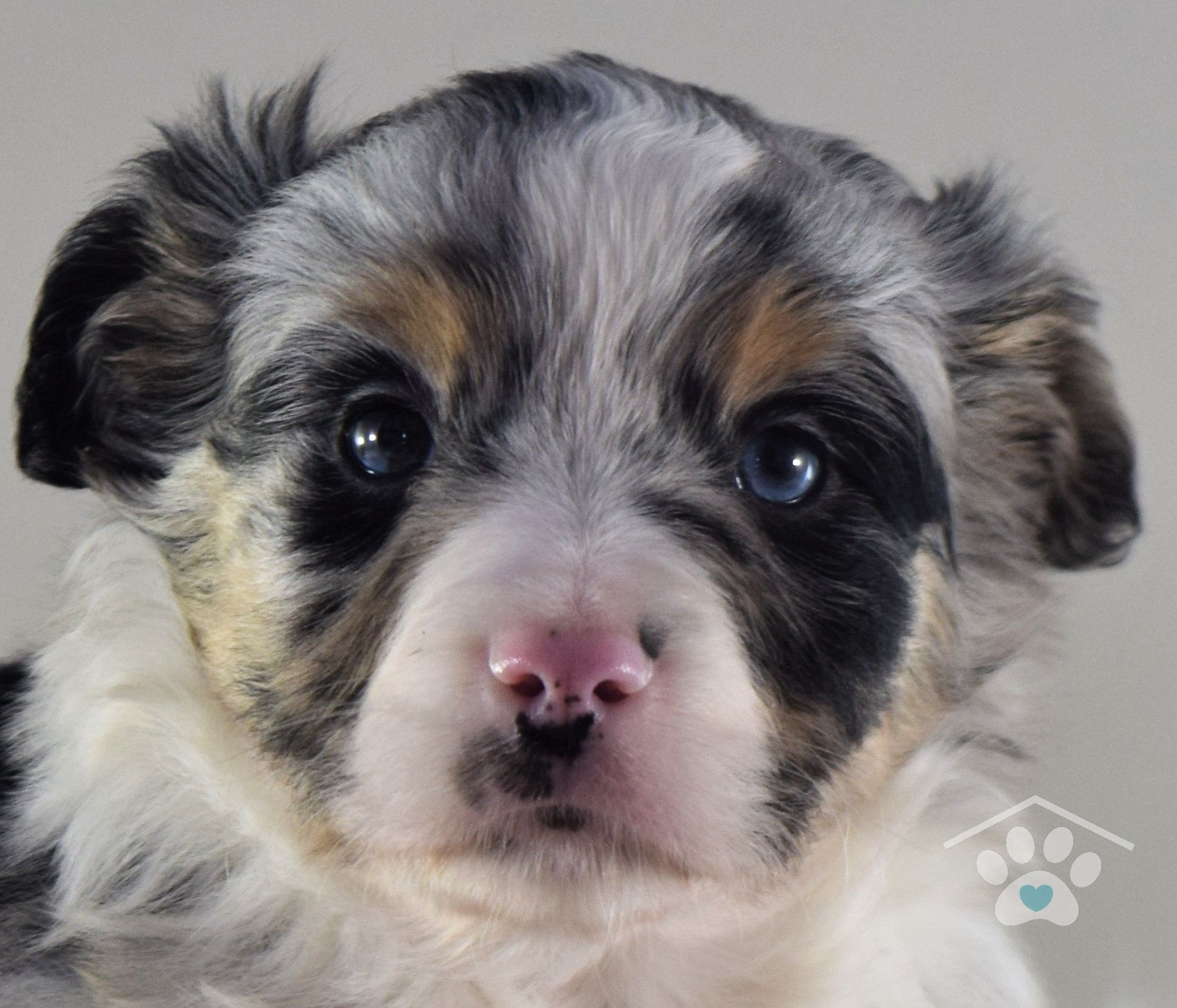 Australian Shepherd Blue Heeler Mix Puppies For Sale Best