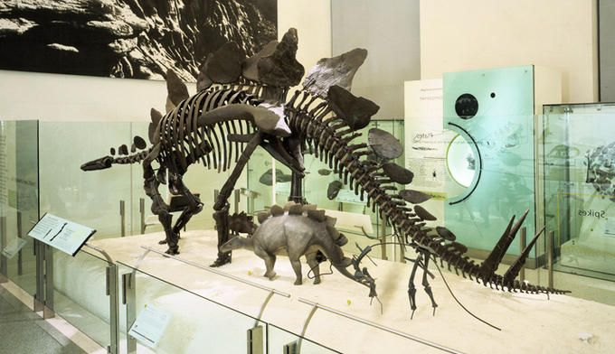 Stegosaurus Dinosaur Exhibition Stegosaurus Dinosaur Fossils