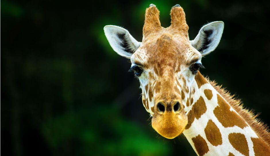 April The Giraffe Gets New Website Watch Live Cam Online