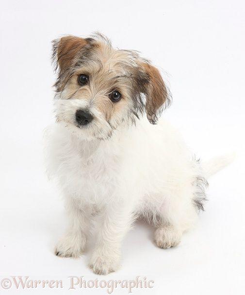 Jackie Bichon Jack Russell Terrier Bichon Frise It S Chloe