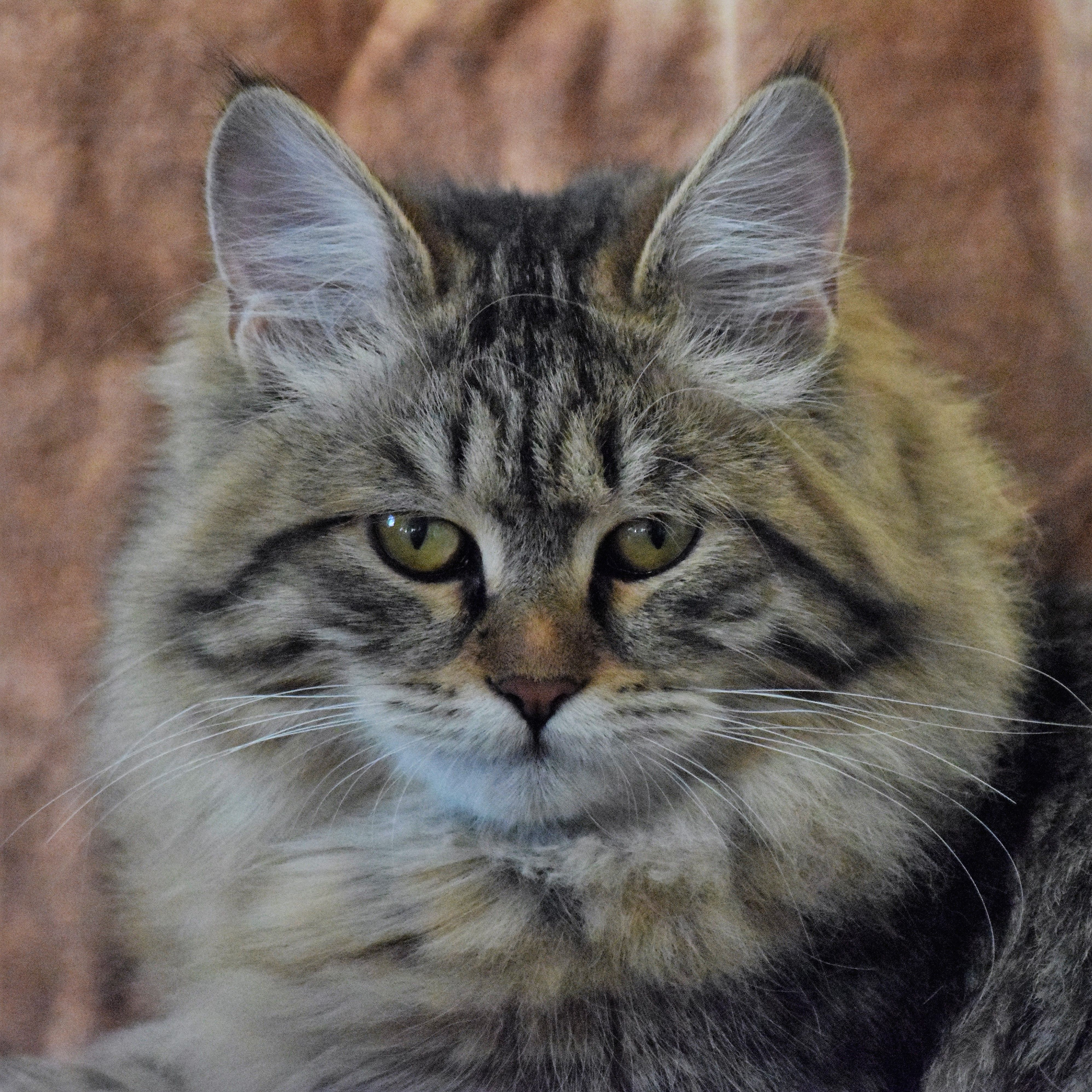 Ottepel' Lunnaya Dymka Black Tabby Siberian Queen Breeder