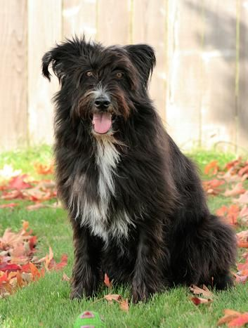 My Rescue Dog Tally Bearded Collie Mix Bearded Collie Collie