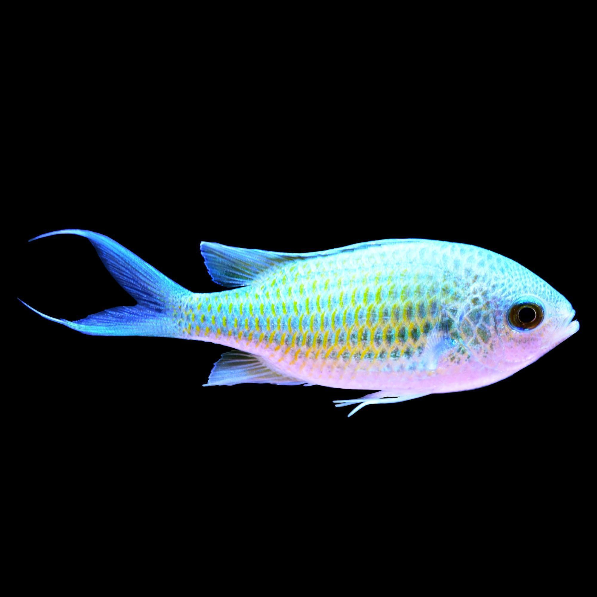 Green Chromis Small Petco In 2020 Salt Water Fish Small Fish Tanks Saltwater Fish Tanks