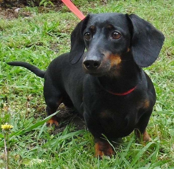Adopt Fenway On Dachshund Adoptable Dachshund Dog Dachshund Dogs