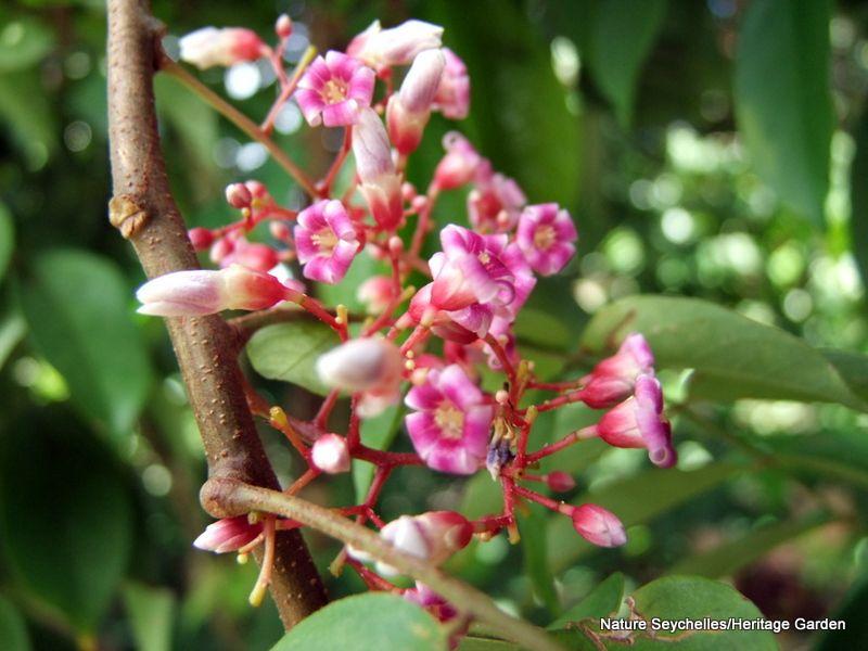 Flowering Star Fruit Tree Edible Landscaping Fruit Trees Organic Farming