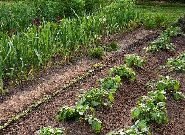 le buttage de la pomme de terre jardin vegetable garden garden et permaculture. Black Bedroom Furniture Sets. Home Design Ideas