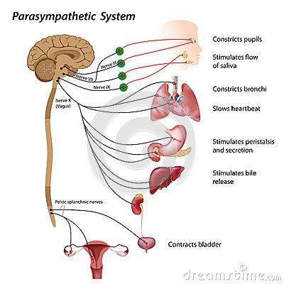 Parasympathetic System Royalty Free Stock Images Neuroscience