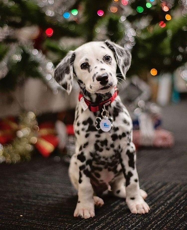 Dalmatian Puppy Is The Cutest Ever At Christmas Puppies Dogez