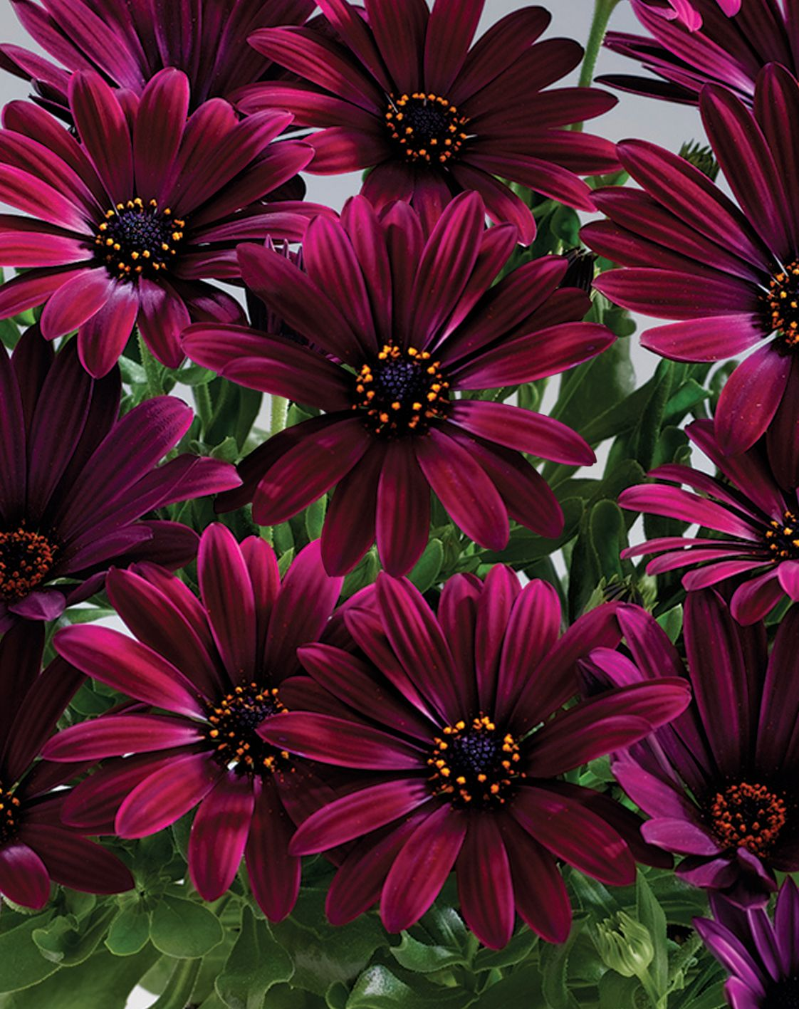 Grow As Annual Another Beautiful Osteospermum This One Is Sunny