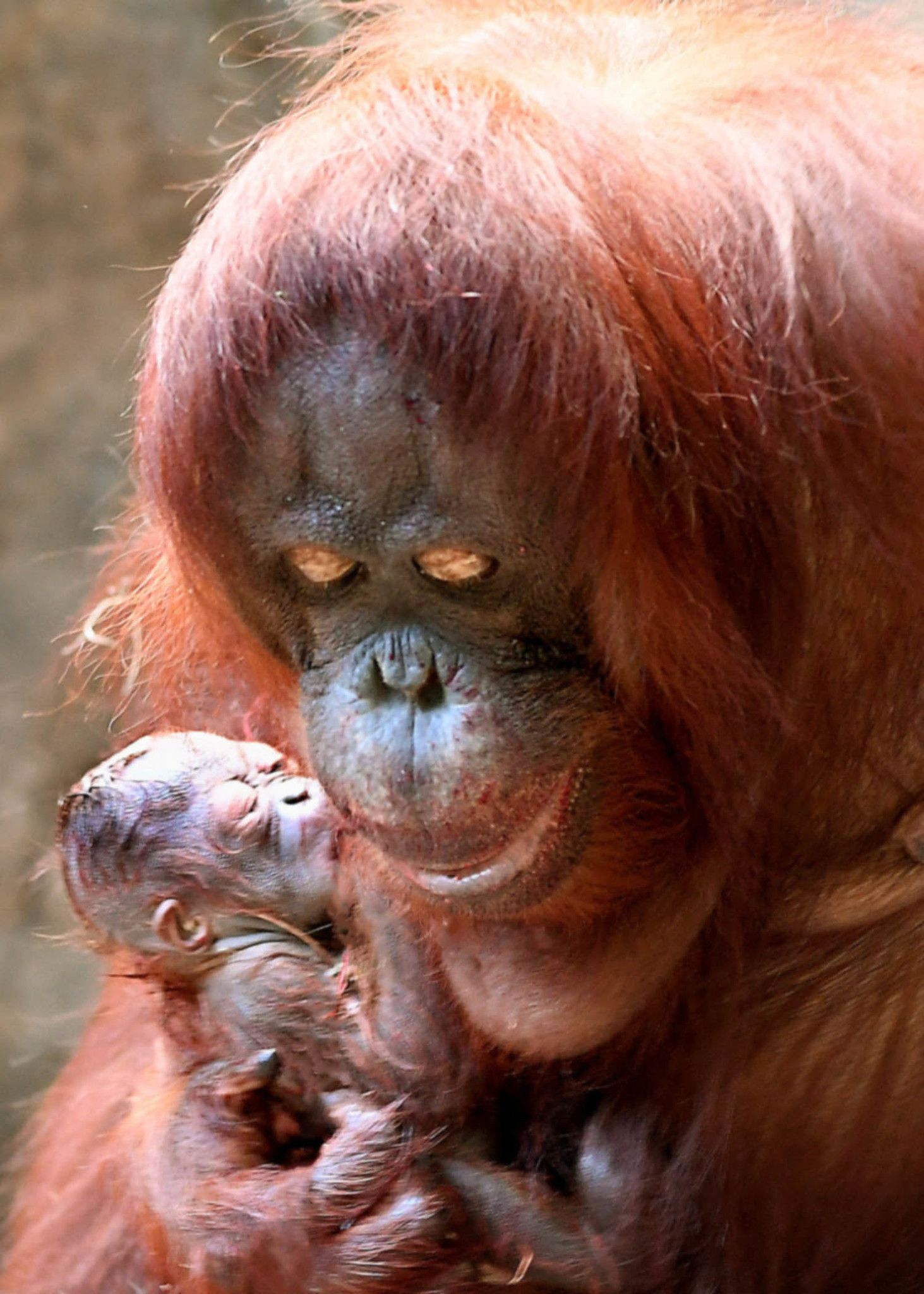 Baby Orangutan Makes Debut In Time For Christmas At