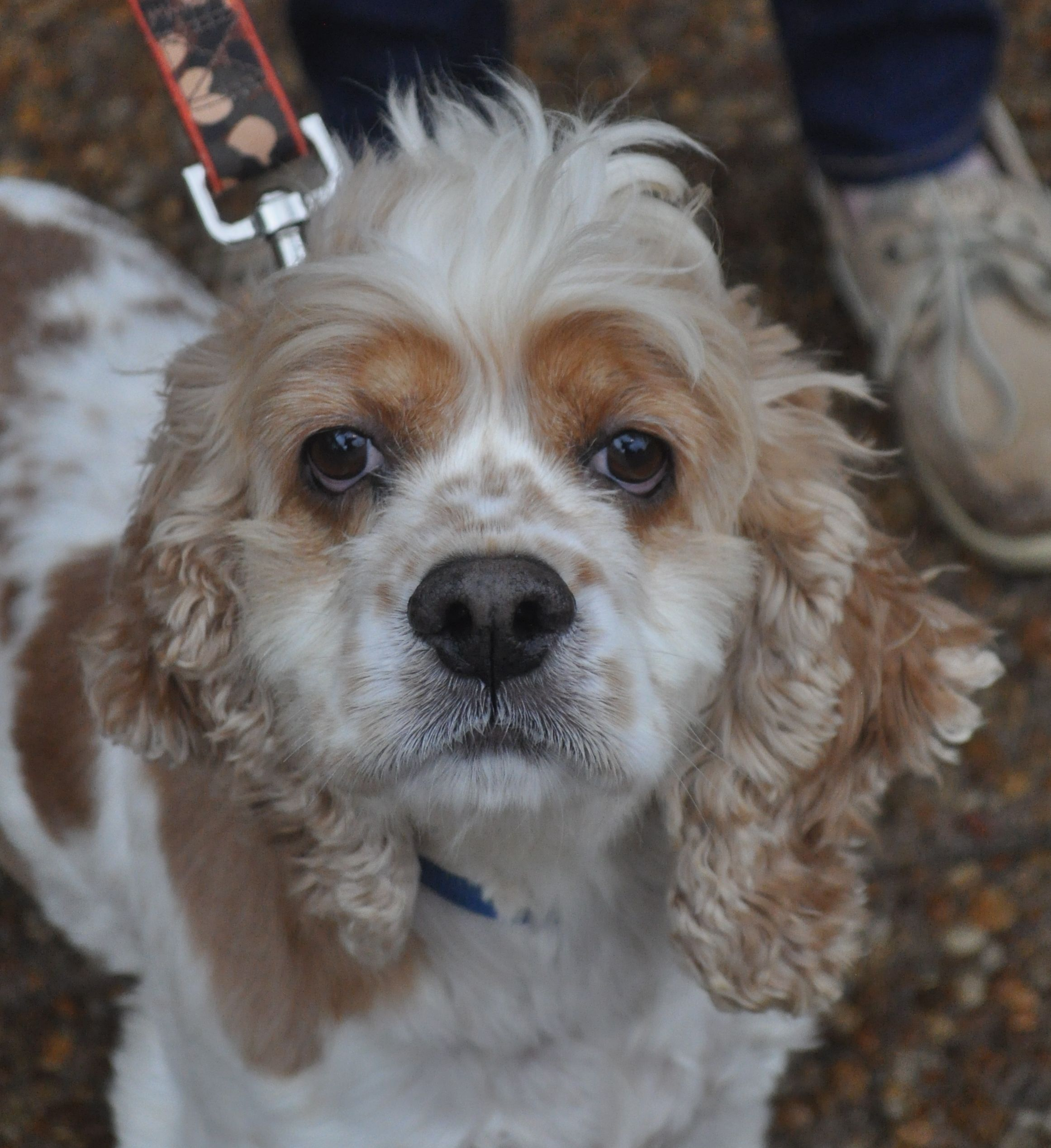Adopt Dorie On Cocker Spaniel Dog Cocker Spaniel Pets