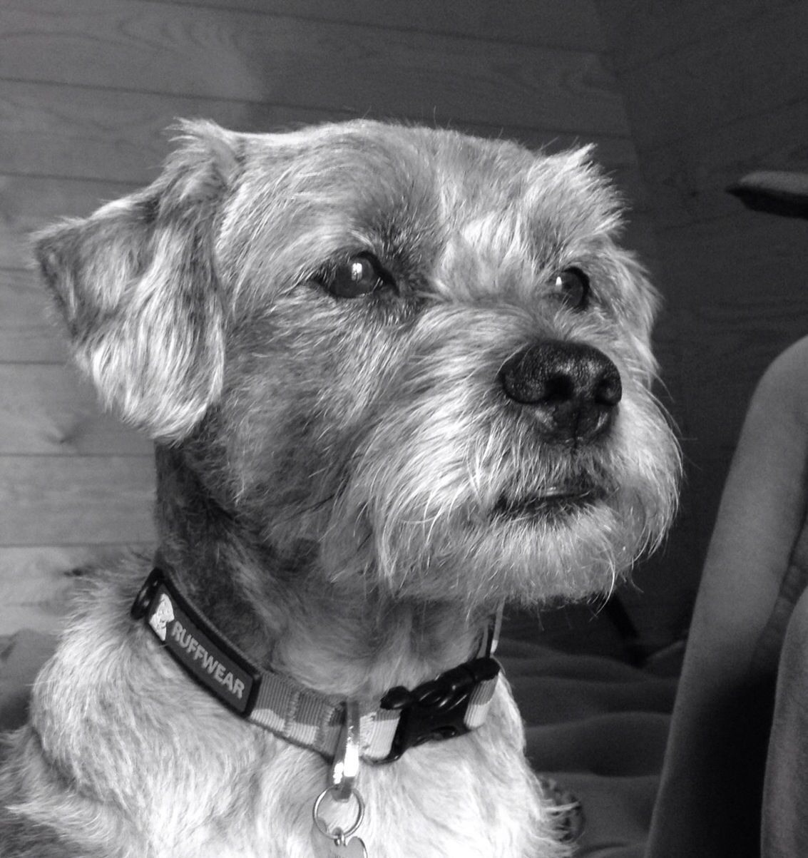 Gimli The Border Terrier Black And White Border Terrier