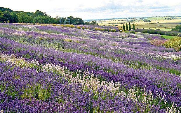 Gardens to visit: Yorkshire Lavender, Yorkshire   Yorkshire ...