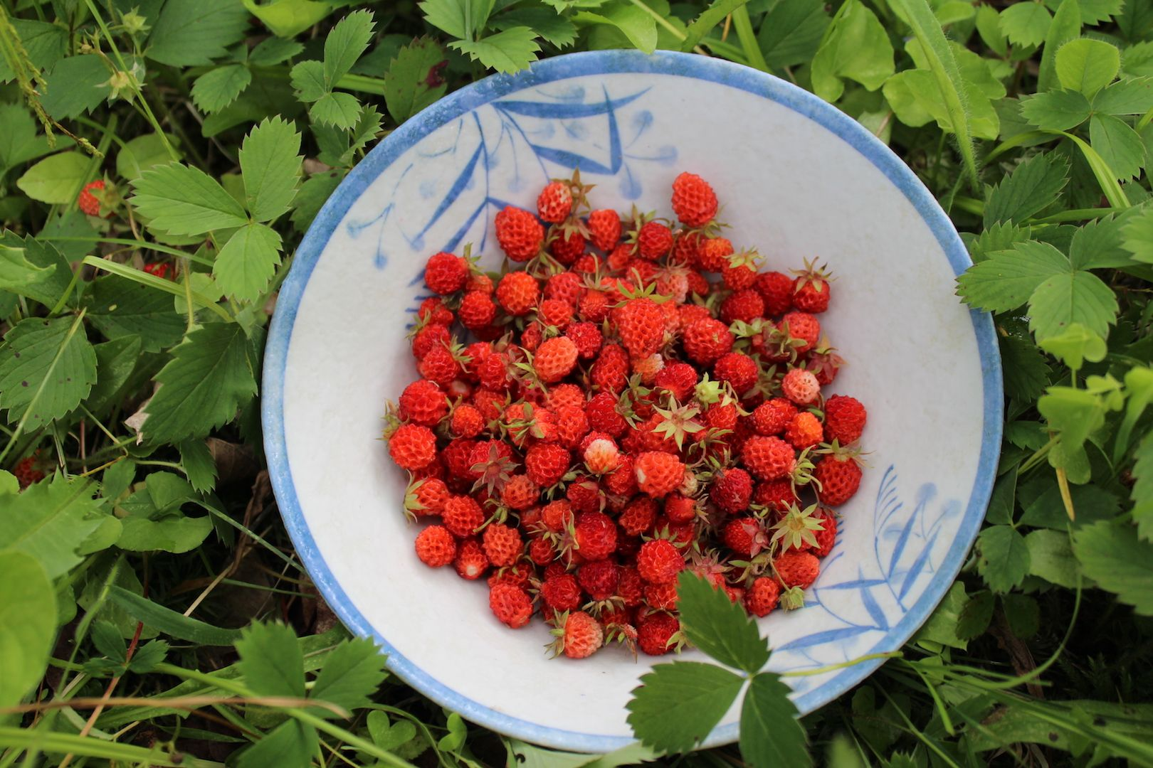 Wild Alpine Strawberries Are A Perfect Demonstration Of Selective Plant Breeding While It S Hard To See How A Wi Alpine Strawberries Wild Foraging Strawberry