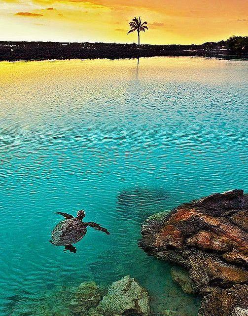 Turtle swimming at sunset, Pu'u Wa'awa'a Ahupua'a, Kailua Kona, Hawaii. #turtle #sunset #Hawaii